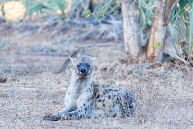 Porträt einer niedlichen beschmutzten hyäne, die sich im busch hinlegt