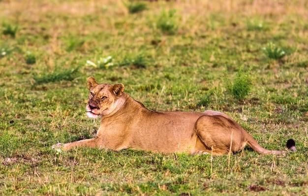 Porträt einer ruhenden löwin. masai mara, kenia