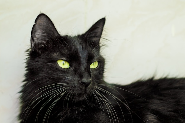 Porträt einer schönen jungen schwarzen katze mit grünen augen