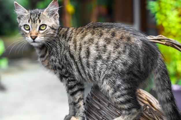 Porträt einer schönen katze bengal