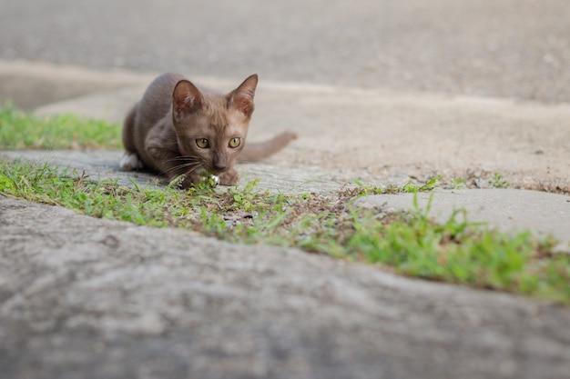 Porträt einer schönen kitty siamesischen katze, schöne katze zu hause. haustier