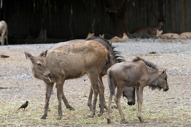 Porträt einer schwarzen antilope Premium Fotos