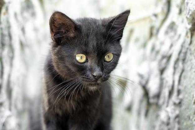 Porträt einer schwarzen jungen katze auf unscharfem hintergrund, schwarzes kätzchen