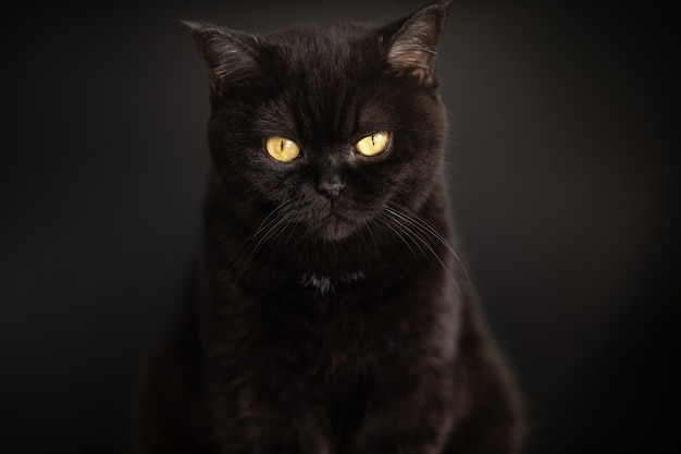 Porträt einer schwarzen katze hautnah auf dem schwarzen hintergrund. schottische kurzhaarkatze. katzenauge.