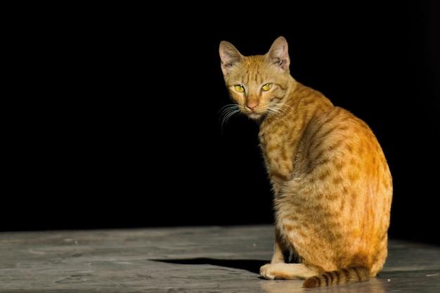 Porträt einer süßen katze mit gelben augen und schnurrhaaren schön weicher, flauschiger reinrassiger, der nach hinten schaut