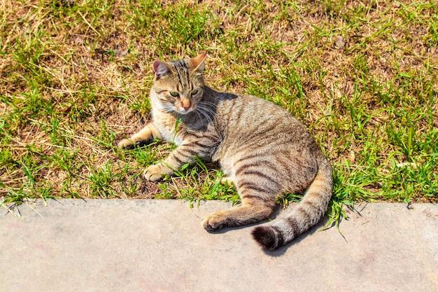 Porträt einer weiblichen grau-braunen katze, die im gras liegt