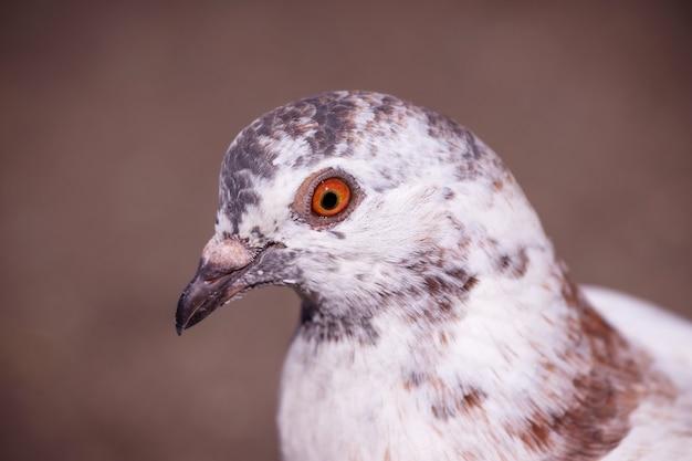 Porträt einer weißen medley-taube nahaufnahme im profil