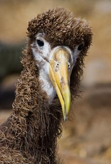 Porträt eines albatroskükens
