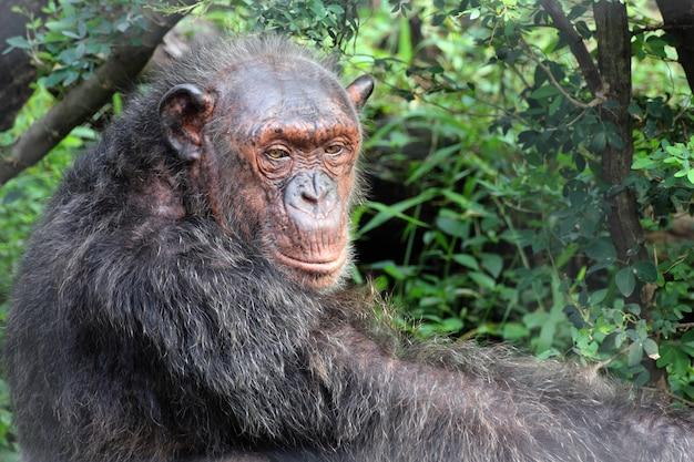 Porträt eines alten schimpansen.