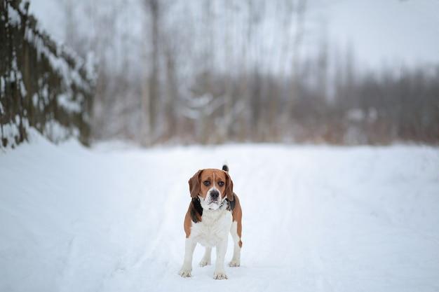 Porträt eines amerikanischen beagles der hunderasse, der im winterwald geht.