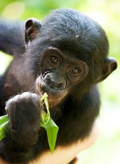 Porträt eines baby bonobo. demokratische republik kongo. lola ya bonobo nationalpark.