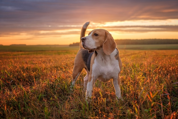 Porträt eines beagle-hundes auf dem hintergrund des sonnenuntergangshimmels