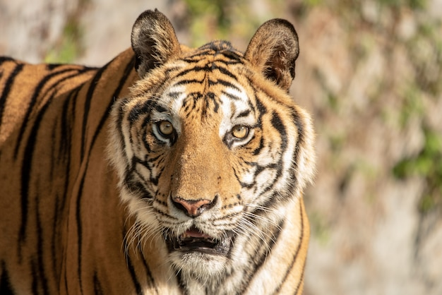 Porträt eines bengal-tigers.