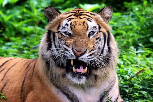 Porträt eines bengalischen tigers aus nächster nähe