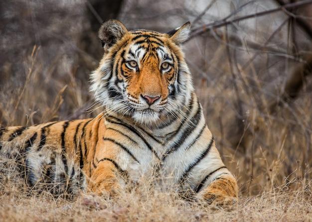 Porträt eines bengalischen tigers. ranthambore nationalpark. indien.