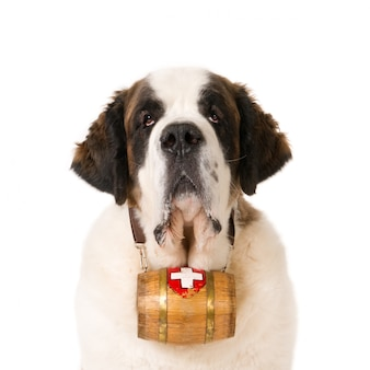 Porträt eines bernhardinerhundes mit einem schweizer rettungsfass um den hals
