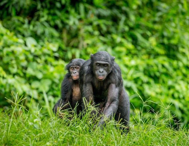 Porträt eines bonobos in der natur