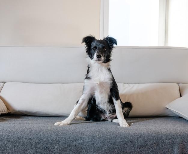 Porträt eines border collie, der auf dem sofa sitzt