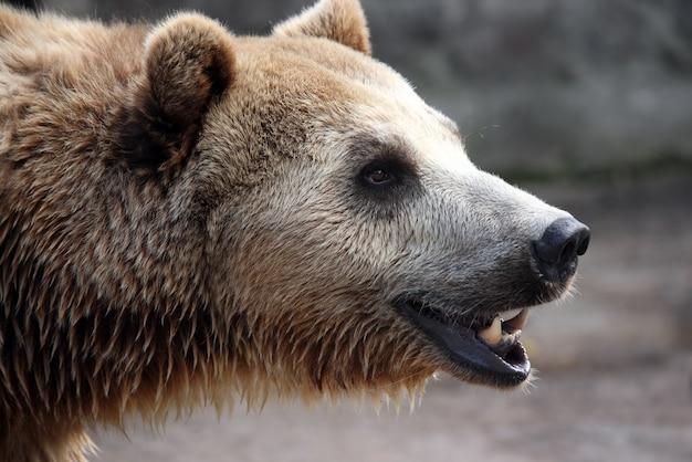 Porträt eines braunbären