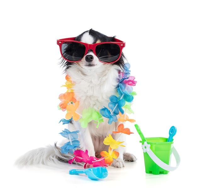 Porträt eines chihuahua mit roter sonnenbrille mit blumenkragen und auf weißem hintergrund