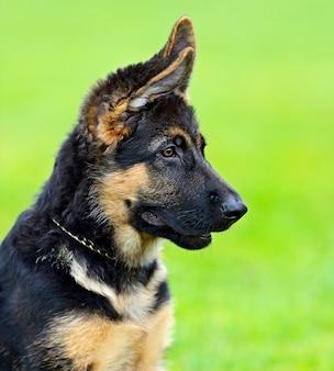 Porträt eines deutschen schäferhundes am hund