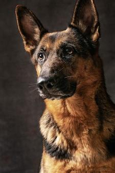 Porträt eines deutschen schäferhundes auf schwarz