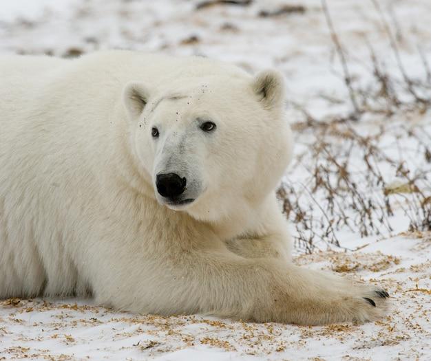 Porträt eines eisbären. nahansicht. kanada.