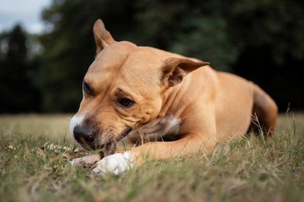 Porträt eines entzückenden pitbull-hundes