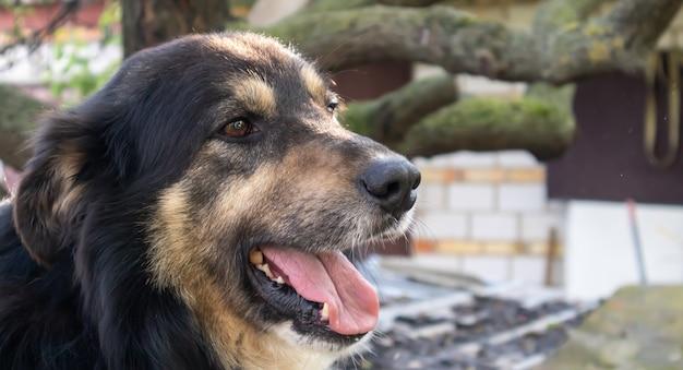 Porträt eines erwachsenen großen hundes im hof des hauses mit heraushängender zunge. schwarzes haustier mit braunen augen. einen hund im hof eines privathauses als freund und bewacher des territoriums halten.