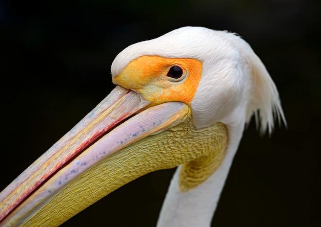 Porträt eines europäischen weißen pelikans auf dunklem hintergrund