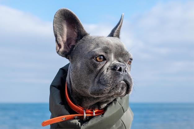 Porträt eines französischen bulldoggenhundes gegen den himmel und das meer.