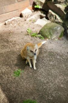 Porträt eines gelben mungos im zoo