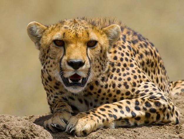 Porträt eines geparden.