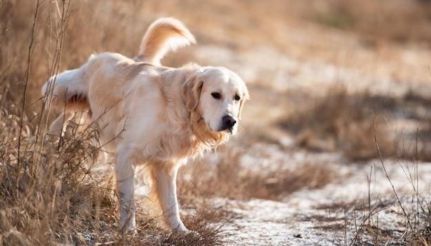 Porträt eines golden retriever-hundes, der im zeitigen frühjahr im freien spazieren geht und auf dem feld pinkelt ...