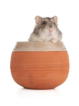 Porträt eines grauen hamsters in einer tonschale