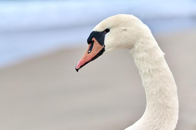 Porträt eines großen weißen höckerschwans neben der ostsee, makro. nahaufnahme des schwanenkopfes, der details seiner federn, seines schnabels und seiner augen zeigt.