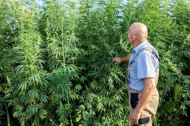 Porträt eines hochrangigen agronomen, der hanf- oder cannabispflanzen auf dem feld und cannabis-sativa-pflanze betrachtet