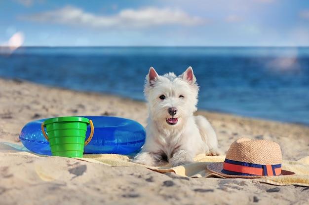 Porträt eines hübschen westie hundes, der am strand legt