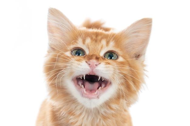 Porträt eines ingwer-kätzchens, das nach oben schaut und zähne zeigt.
