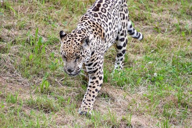 Porträt eines jaguars, der auf dem gebiet geht