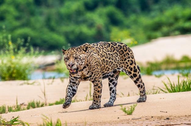 Porträt eines jaguars im dschungel