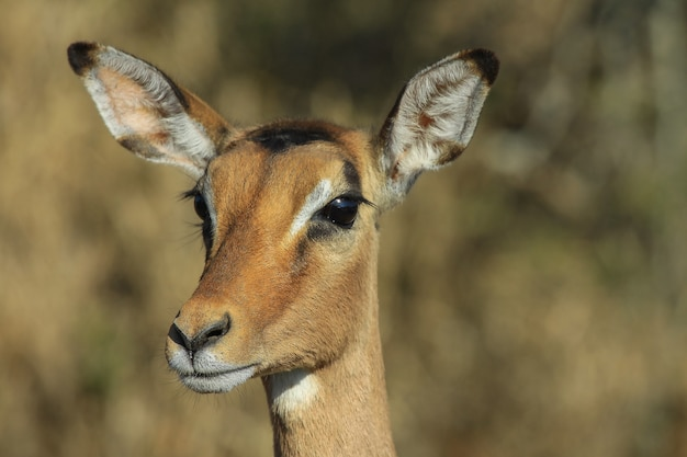 Porträt eines jungen impalas auf unscharfem hintergrund