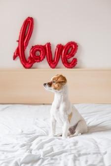 Porträt eines jungen schönen netten und kleinen hundes, der auf bett sitzt und am fenster zu hause schaut