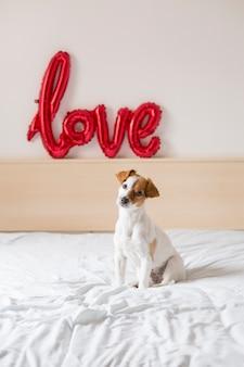 Porträt eines jungen schönen netten und kleinen hundes, der auf bett sitzt