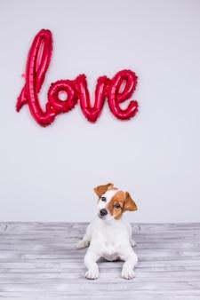 Porträt eines jungen schönen netten und kleinen hundes, der auf einer grauen tabelle sitzt