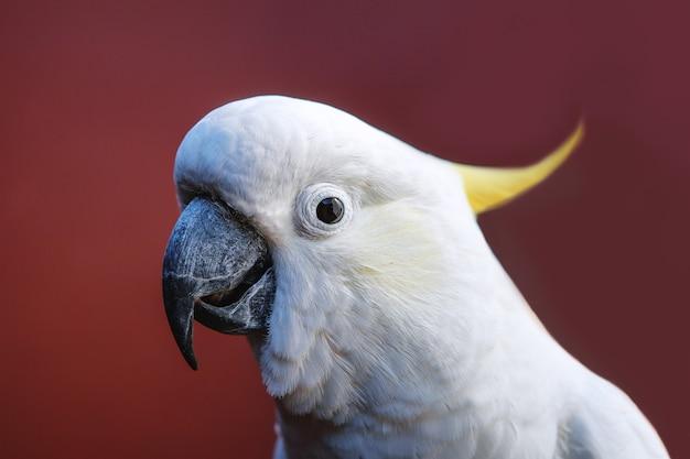 Porträt eines kakadus mit schwefelhaube an einer roten wand