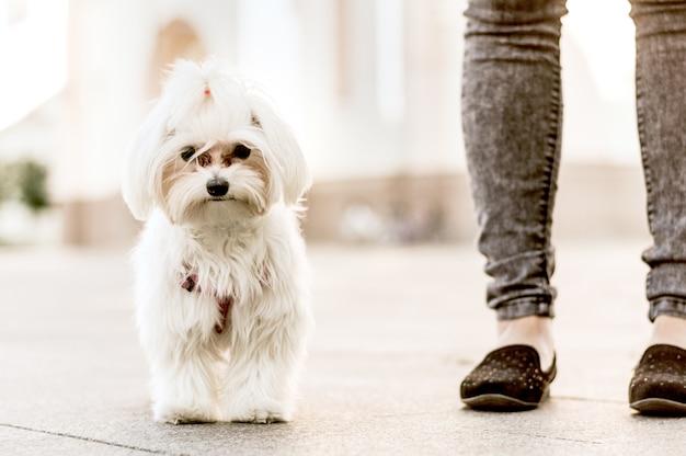 Porträt eines kleinen hundes, der auf straße geht
