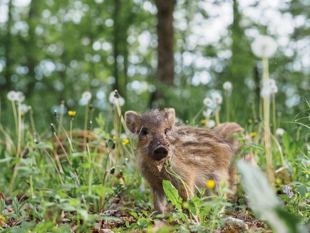 Porträt eines kleinen wild gestreiften ebers im wald