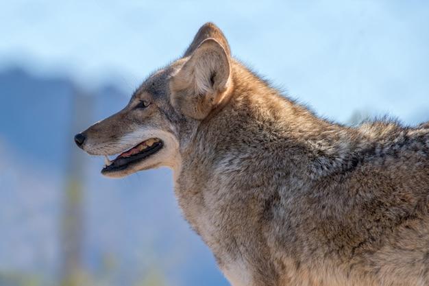 Porträt eines kojoten, einer seitenansicht oder eines profils