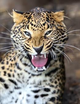 Porträt eines leoparden in der wilden afrikanischen savanne